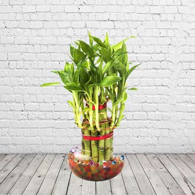 Lucky Bamboo Double Layer