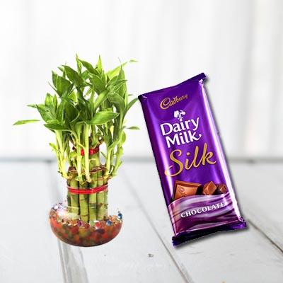 Lucky Bamboo With Cadbury Silk